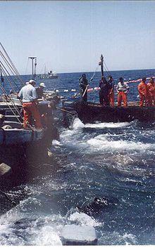 """Cádiz Barbate Pesca de Atún Aún pervive la pesca de cerco (""""traíña"""") y la almadraba, que es una actividad estacional, durante el paso migratorio del atún rojo hacia el Mediterráneo y la vuelta de éste al Atlántico tras desovar"""