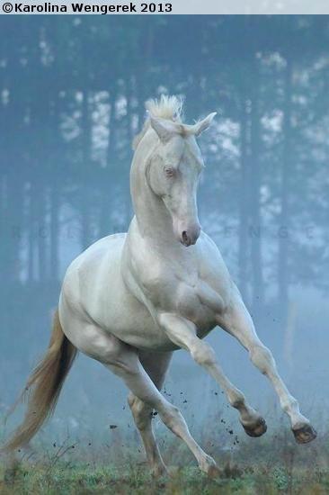 akhal-teke stallion Samurai-Shan grey Akhal-Teke Cremello akhal-teke