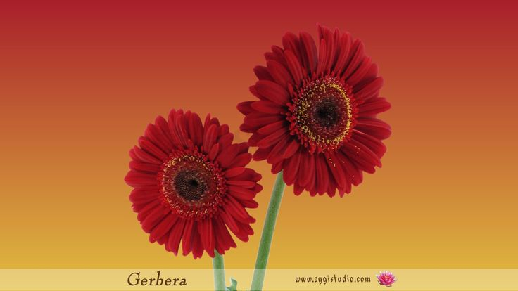 Timelapse of Opening Red Gerbera with ALPHA.