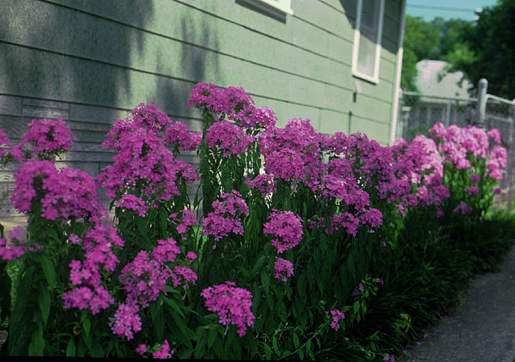 45 best images about perennials minnesota hardy on for Hardy plants for the garden