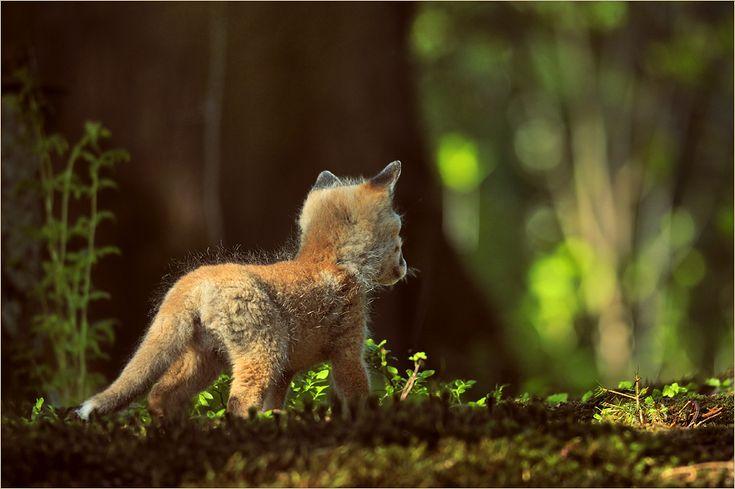 Red Fox Cub by Hubert Waizenegger