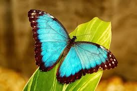 A blue-wing butterfly was landing on a leaf