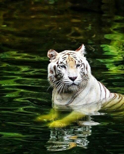 White Tiger Bathes