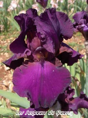 Iris 'Thriller'. Grand iris de jardin. Violet pourpre velouté sombre et uni. Floraison : mi saison à tardif.   Hauteur : 0,90m . Parfumé. Obtenteur : Schreiner 1988.