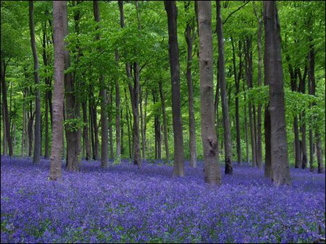 Bluebell woods, Wiltshire, England