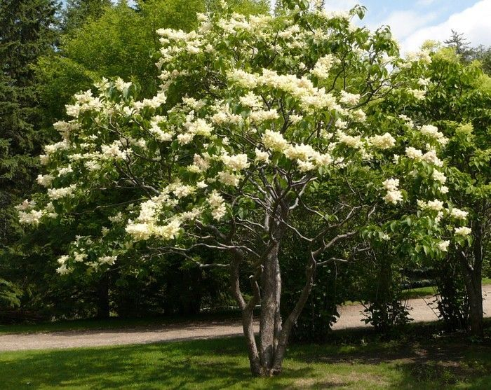 Image result for japanese lilac tree