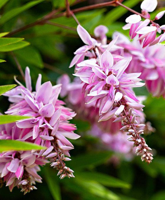 Indigoplant  Leuk zomerbloeiend struikje oorspronkelijk afkomstig uit China en Korea! De trossen met roze vlinderbloemen samen met de wat grijsgroene fijne blaadjes zijn prachtig! Groeit compact dus ook zeer geschikt voor de kleinere tuin. De indigoplant is ook prachtig vooraan in de heesterborder of als solitaire plant. Indigofera kirilowii bloeit op nieuwe scheuten. Ze mag elk jaar fors worden teruggesnoeid. Alle soorten van Indigofera zijn van oudsher leverancier van de kleurstof indigo…