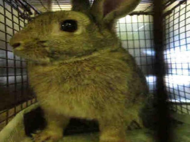 BUGS - URGENT - CITY OF LOS ANGELES SOUTH LA ANIMAL SHELTER in Los Angeles, CA - Adult Neutered Male Rabbit