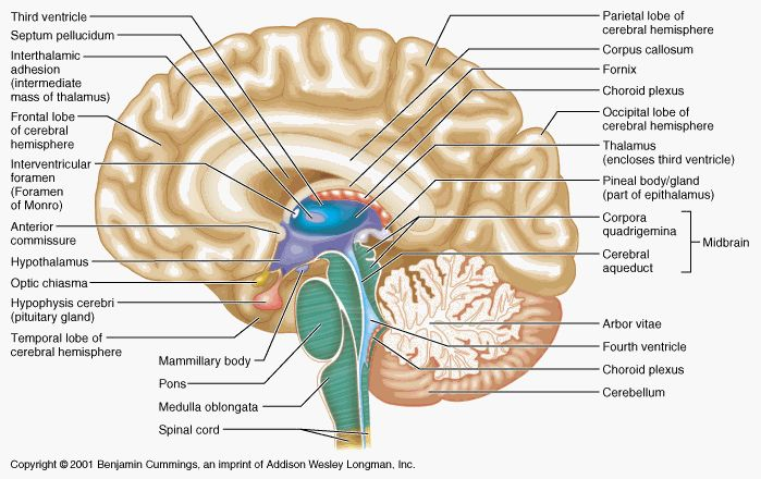 Human Brain Labeled Diagram - Health, Medicine and Anatomy Reference Pictures