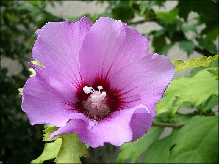 les 25 meilleures idées de la catégorie fleur d hibiscus sur pinterest