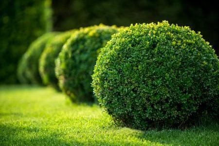 Best Hedges to Plant - Boxwood