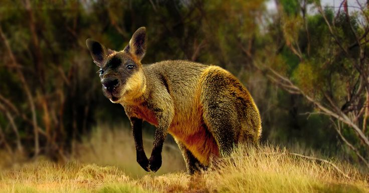 Help save threatened species and preserve Australia's iconic wildlife! Become a…