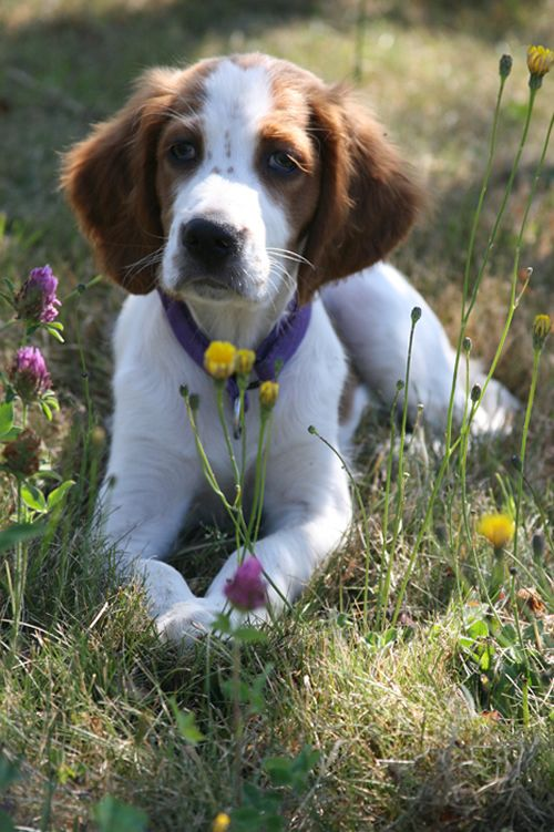 learning how to pick wild flowers for mama at a young age ~ Irish Red and White Setter