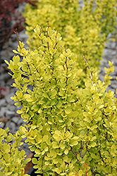 Sunjoy Gold Pillar Japanese Barberry (Berberis thunbergii 'Sunjoy Gold Pillar') at Stein Gardens & Gifts