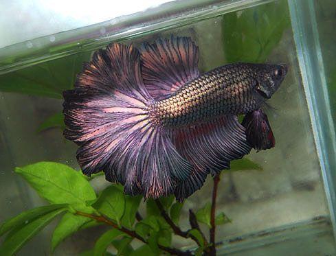 Cele mai bune 658 imagini despre betta pe pinterest for Black betta fish for sale