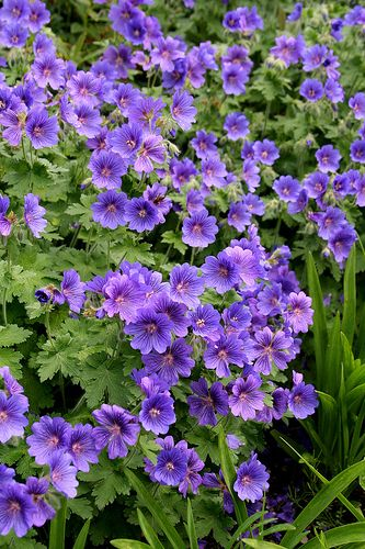 perennial geraniums - cranesbill - wild geraniums... These are ground cover plants. They grow all over the sand dunes along parts of the Northumberland coast in England UK & are a wonderful sight. They're at home in a windy garden & flower profusely over a long period. You can buy the natural colour pictured, or shades of pink.