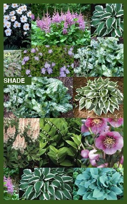 Perennial Shade Garden | Asheville Perennials, flowering perennials, groundcovers, hybrids at B ...