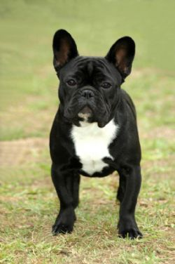 French Bulldog! This is THE ONE that I want!!!!! A black tuxedo frenchie!!!!!