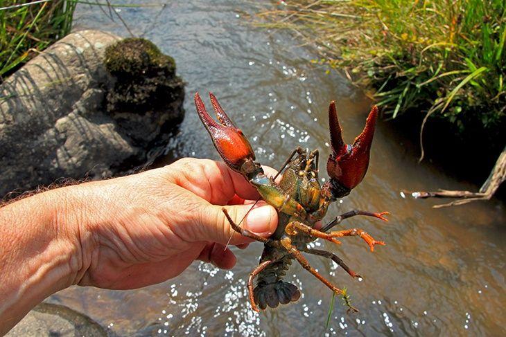 Crawfishing 101 3 Easy Methods For Catching Crawfish First Earth Day Crawfish Crayfish