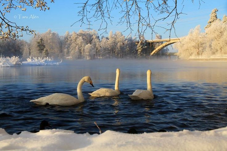 Swans and a cold lake make this magical. (From Heinola, Finland)
