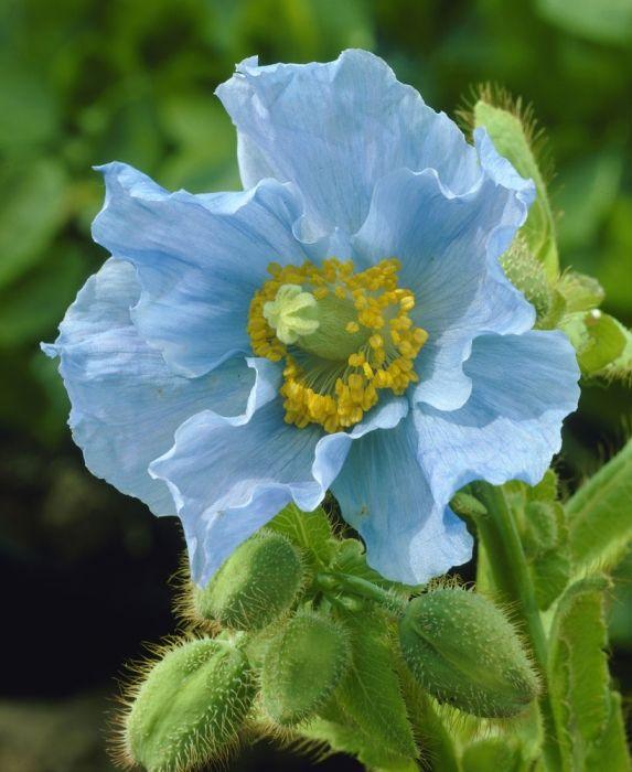 ~Meconopsis betonicifolia China Blue