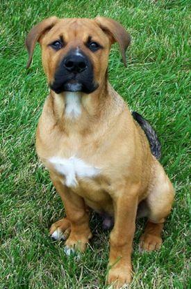 American Bulldog/Rottweiler Mix. | animals | Pinterest