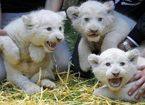 41 best images about FELINE - Liger on Pinterest ...  White Liger Cubs