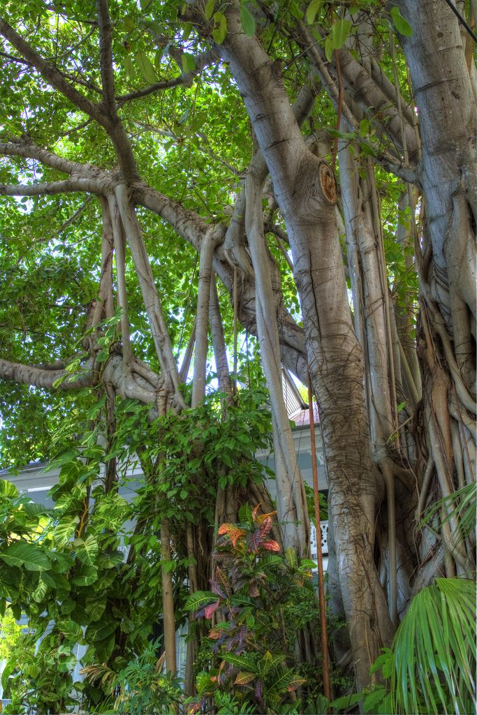 114 best the keys images on pinterest florida places to travel banyan tree florida keys fandeluxe Choice Image