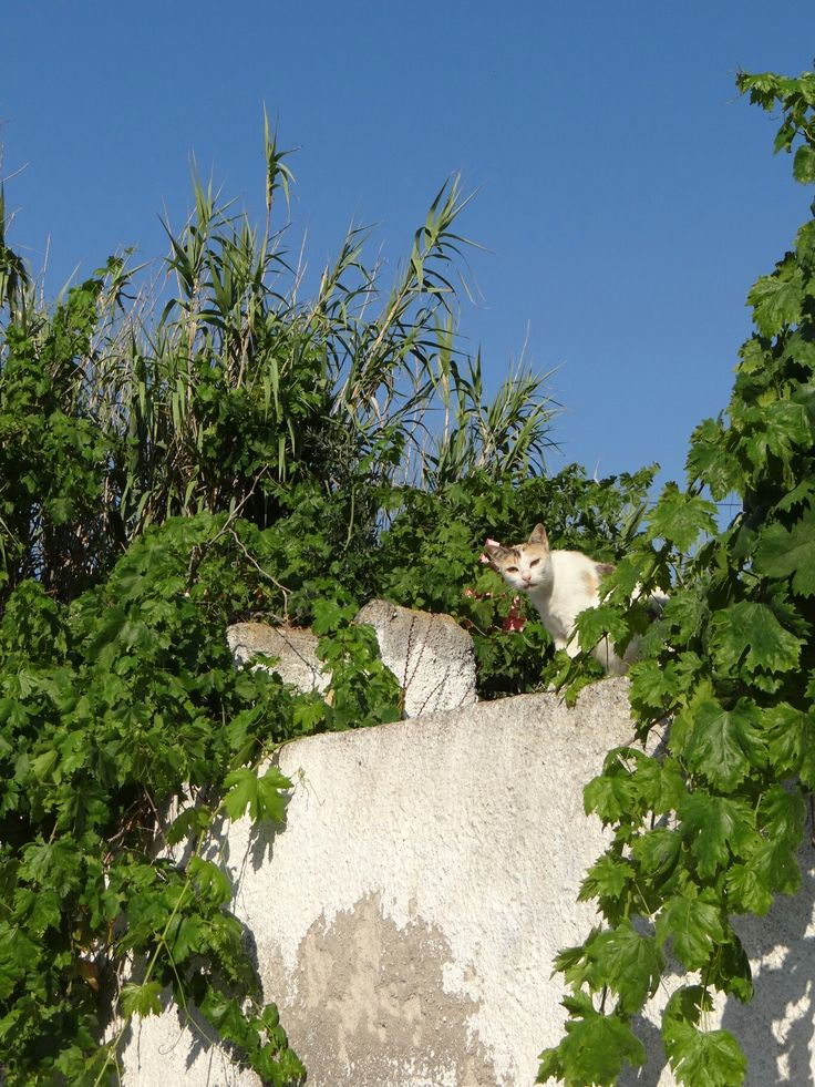 Karterados Santorini  #cats #cat #photography   #greece