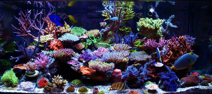 Tanque del mes Diciembre 2012 Reefkeeping || December 2012 Tank of the Month by Darryl Vanacker's