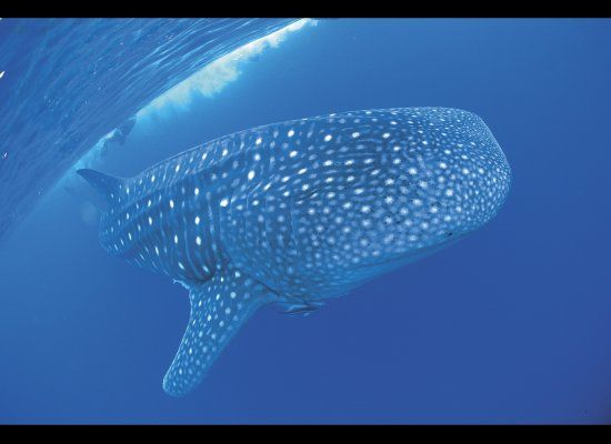 Whale shark?Spaces, Craziest Travel, Whales Sharks, Favorite Places, Whale Sharks, Australia Sharks, Travel Ideas