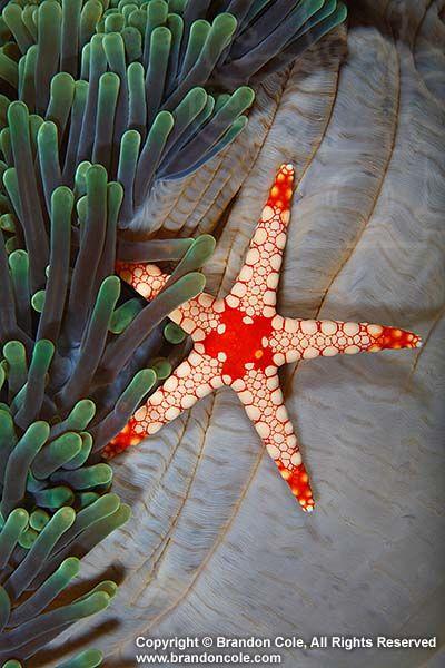 Echinoderm- sea star (Fromia monilis) and sea anemone.. starfish echinoderms invertebrates one tropical vertical sea anemone.  © Brandon Cole.