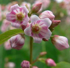 Apocynum androsaemifolium Spreading Dogbane