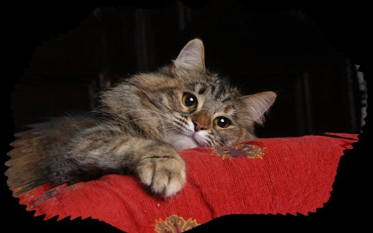 Hypoallergenic siberian cats and kittens | Kute Kuddly ...