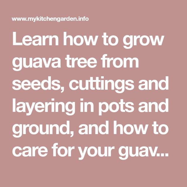 Learn how to grow guava tree from seeds, cuttings and layering in pots and ground, and how to care for your guava plant.