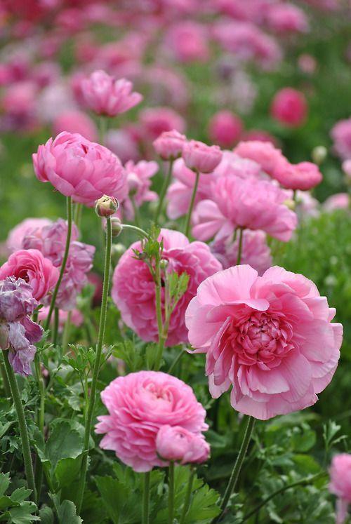✯ Ranunculus
