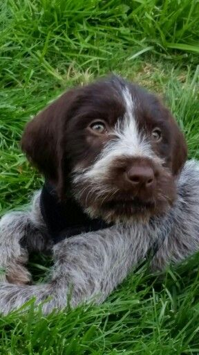 My 9wk old GWP just pointed my ducks.