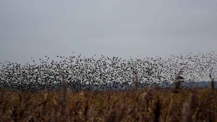 Starlings Roosting Murmurations with Audio RSPB Otmoor Oxford Nov 2016