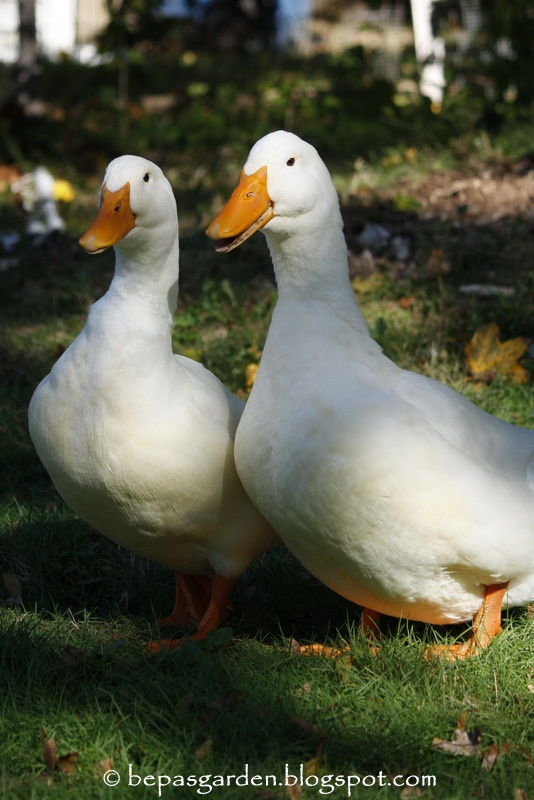 Pekin ducks just like mine....Braveheart and Jameison