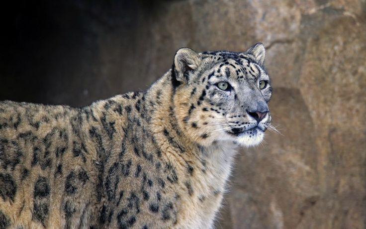 snow leopard desktop nexus wallpaper 1920x1200