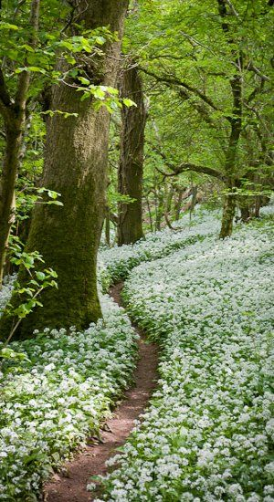 Footpath through the Wild Garlic - Milton Wood Somerset, England