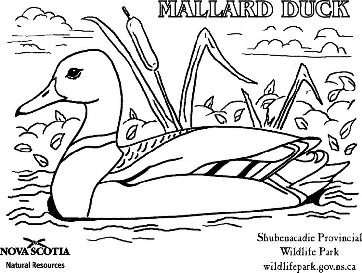 ducks unlimited coloring pages - photo#4