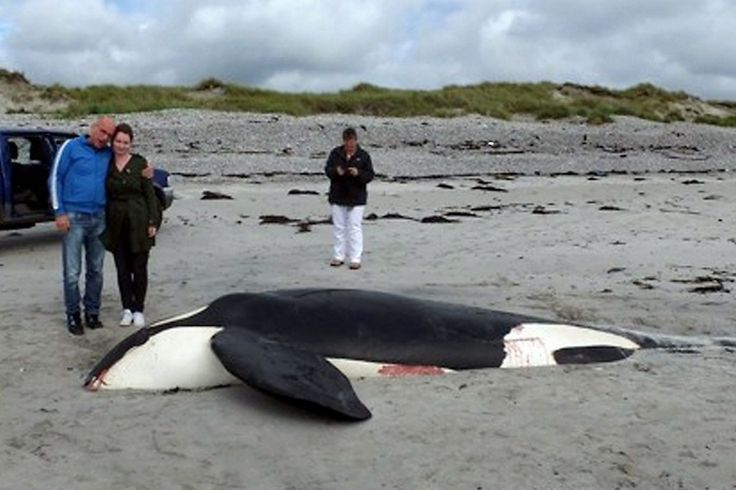 Killer whale washes up on UK beach but cause of death is mystery