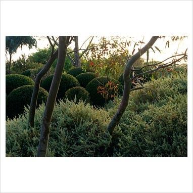 Rhagodia spinescens and Westringia in Australian garden -