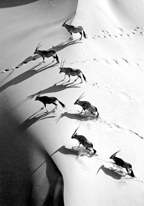 Cropped detail: Skeleton Coast, Namibia.  Gemsbok crossing sand dunes in the desert near the Skeleton Coast. Original colour photo by Michael Poliza / National Geographic. °