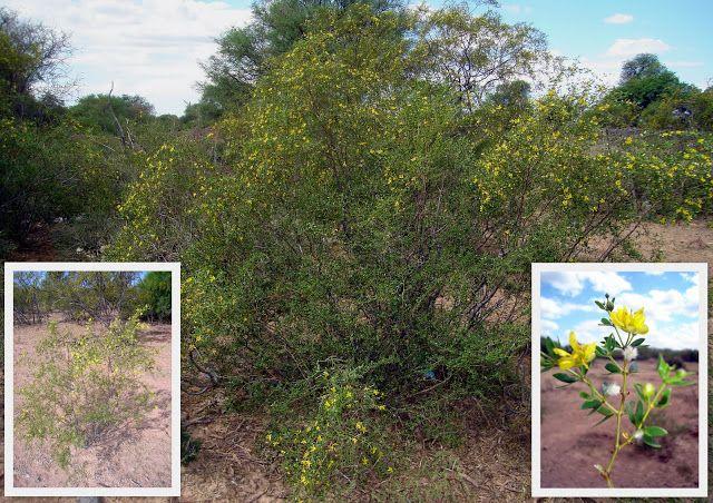 Esta es la jarilla divaricata (jarilla hembra): Es un arbusto de tallos leñosos, cilíndricos y resinosos; alcanza hasta 3 metros de altura. Flores amarillas. Hojas con 2 folíolos, poco soldados y divergentes. Florece de octubre a fines de noviembre.