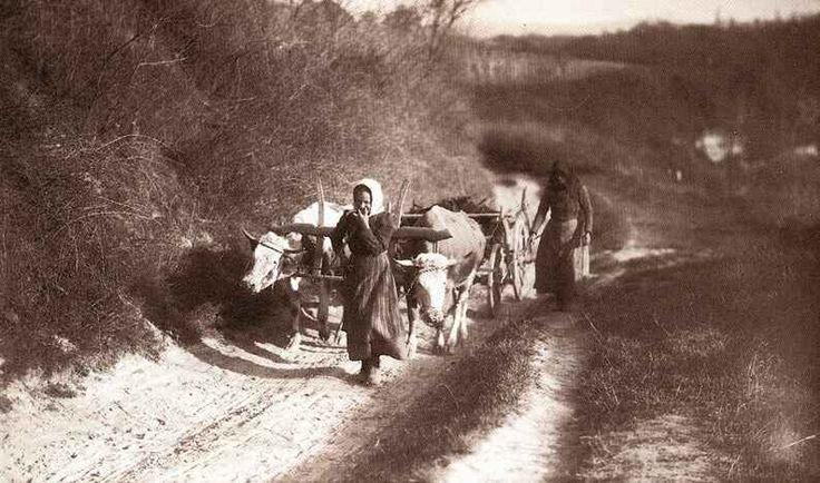 Tehénfogat, 1910 körül.Palatin Gergely.