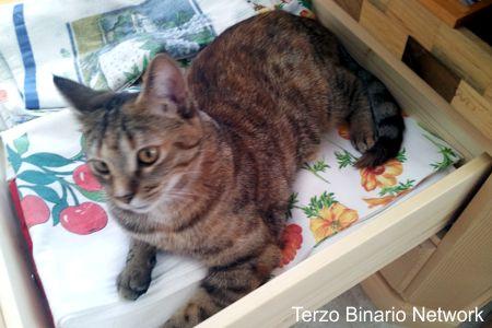 AURONZO DI CADORE (BELLUNO): SMARRITA PIPPA, GATTA TIGRATA http://www.terzobinarionetwork.com/2015/08/auronzo-di-cadore-belluno-smarrita.html