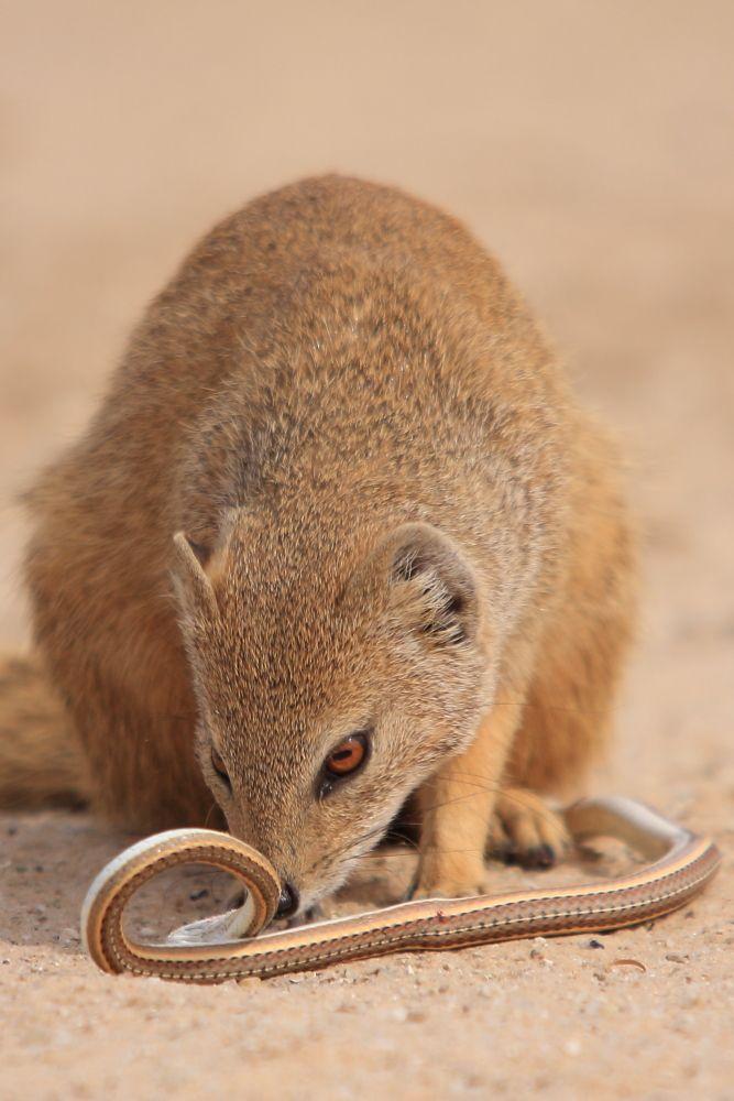 Yellow Mongoose inspecting Kalahari Sand Snake, Kgalagadi Transfrontier National Park, South Africa