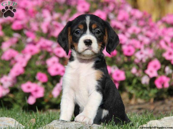 Ally, a sweet little Beaglier puppy for sale in Leola, PA